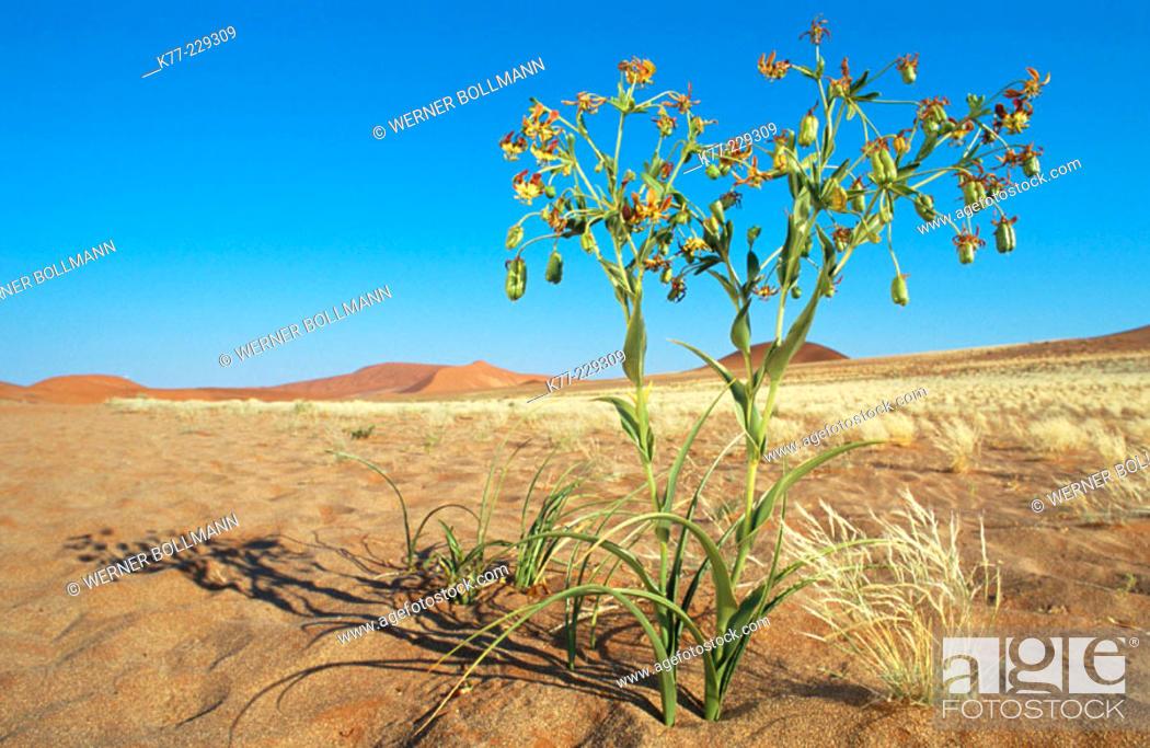Stock Photo: Hexacyrtis dickiana, Family Colchicaceae. Namib-Naukluft. Namibia.
