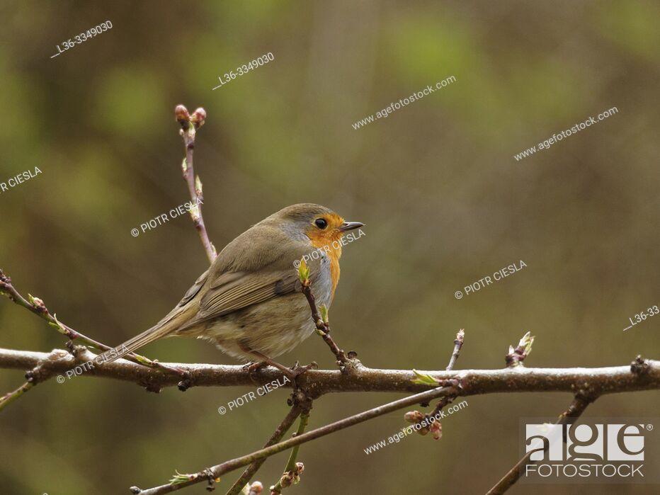 Stock Photo: Robin redbreast (Erithacus rubecula). Poland.