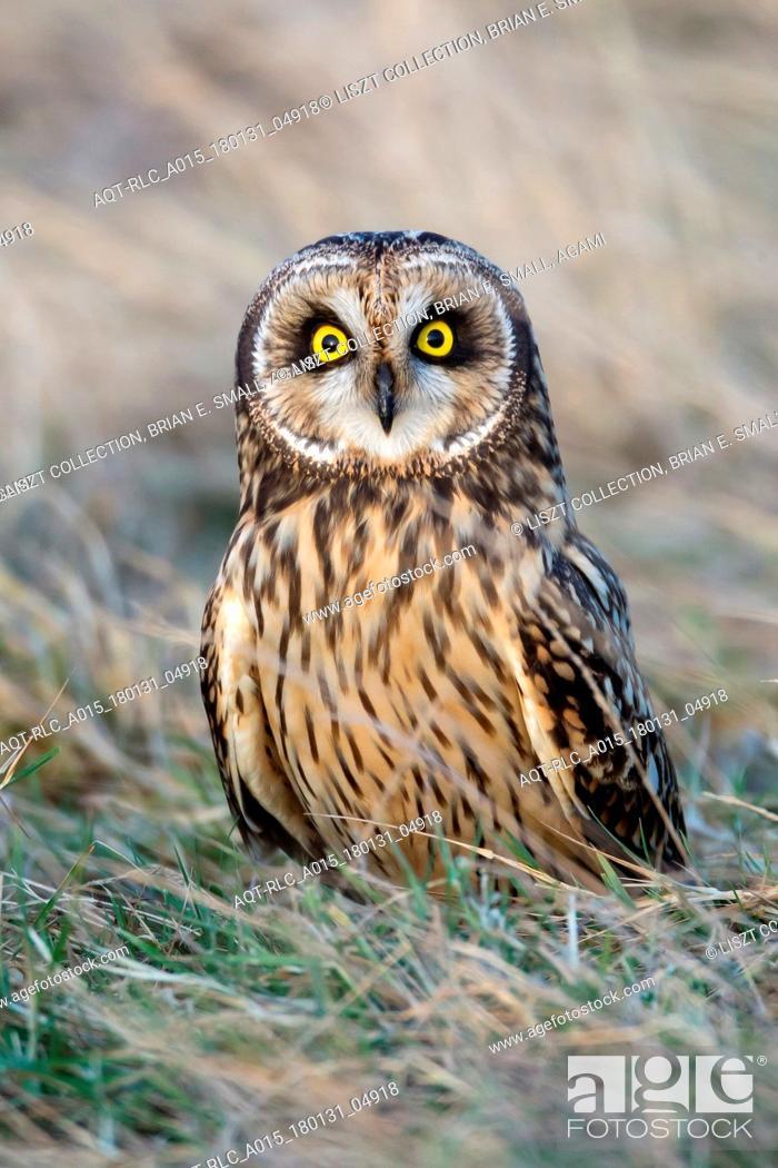 Stock Photo: Asio flammeus, Short-eared Owl.