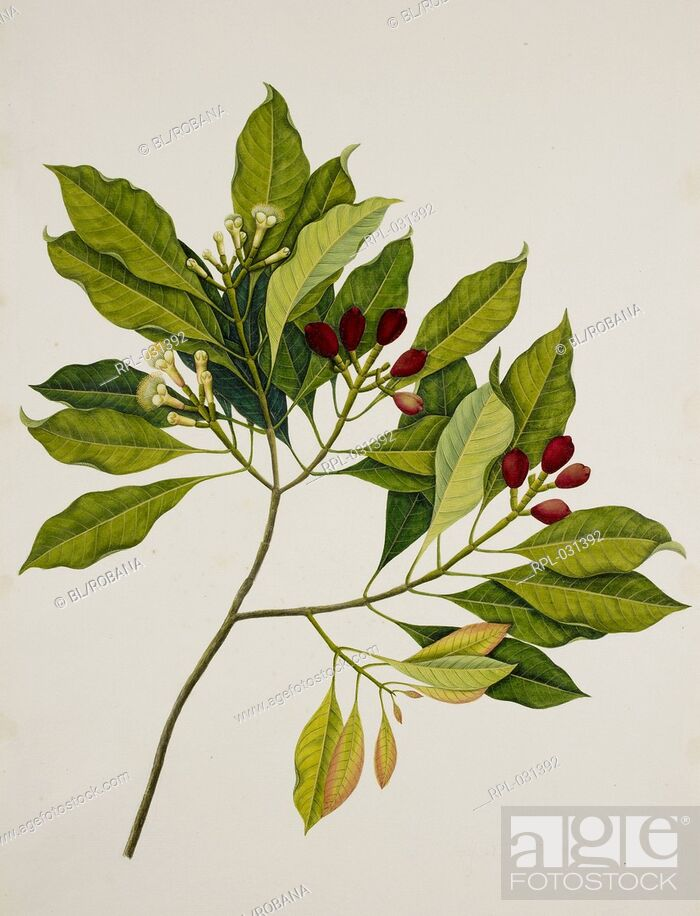 Stock Photo: Clove Tree, 'Eugenia Caryophyllus' Spreng. Bullock and S.G. Harrison Myrtaceae. Clove Tree. From an album of 40 drawings made by Chinese artists at Bencoolen.