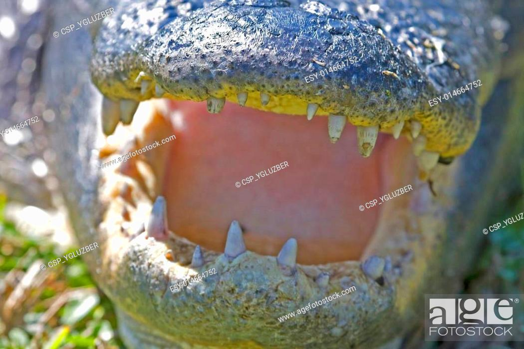 Stock Photo: American Alligator.