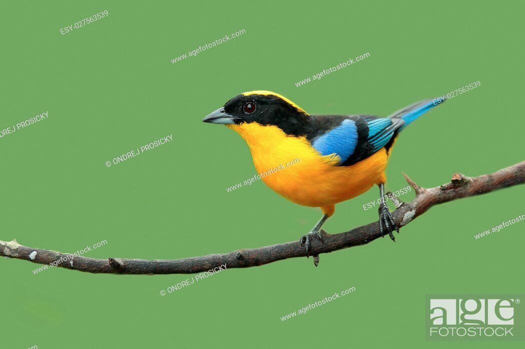 Stock Photo: Blue-winged Mountain-tanager, Anisognathus somptuosus.