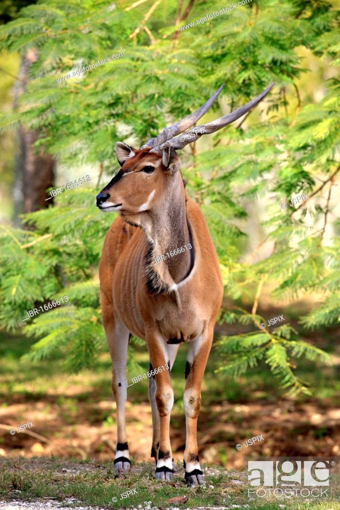 Stock Photo: Common Eland or Eland Antelope (Taurotragus oryx), adult, Africa.
