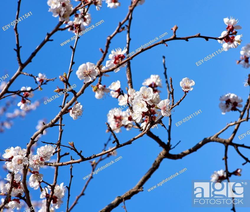 Stock Photo: apricot branch with white blooming flowers on a blue background.