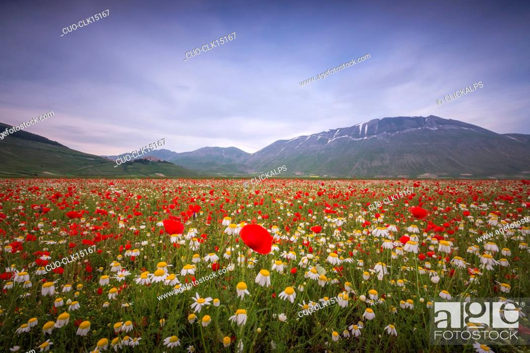 Imagen: Blooming of red poppies and daisies Castelluccio di Norcia Province of Perugia Umbria Italy Europe.