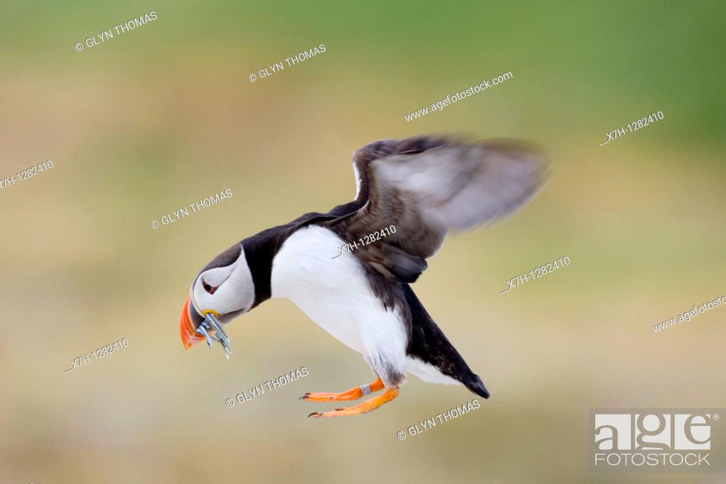 Stock Photo: Puffin flying with fish in its beak.