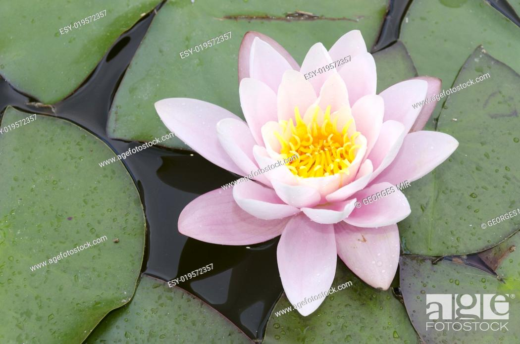 Stock Photo: pink and white water lily.