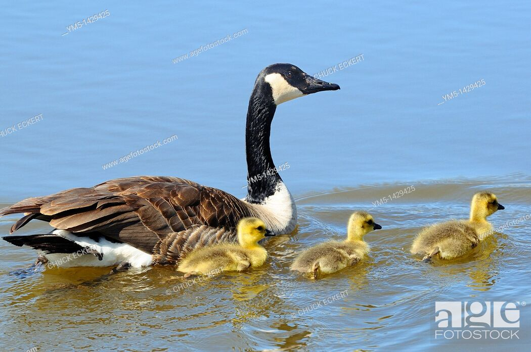 Imagen: A female Canadian Goose swimming with her 3 newborn chicks Branta canadensis.