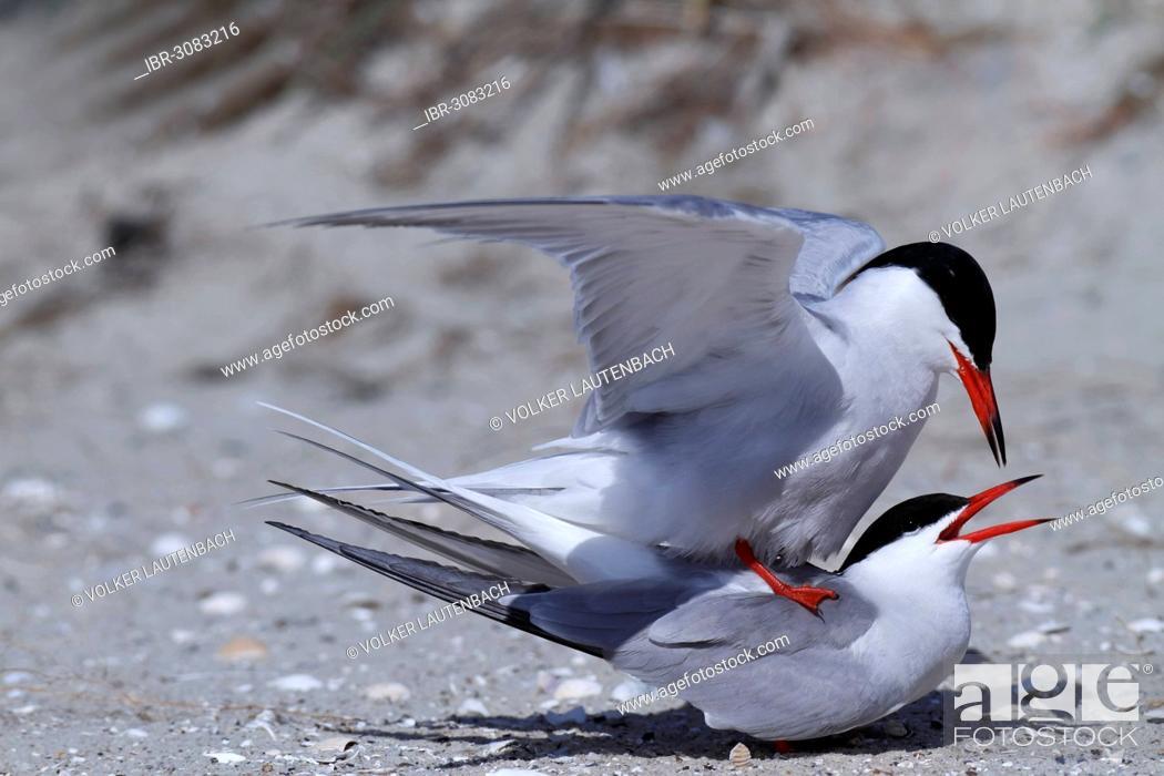 Stock Photo: Common Tern (Sterna hirundo), copula.