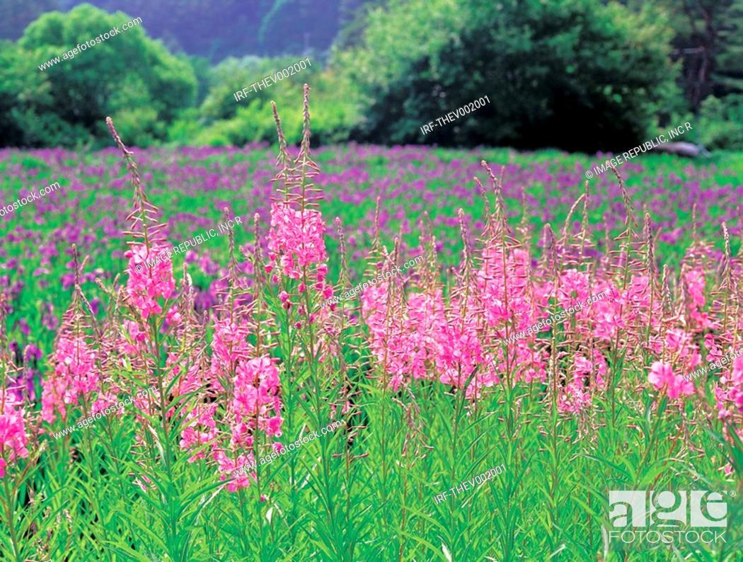 Stock Photo: flower, veronica.