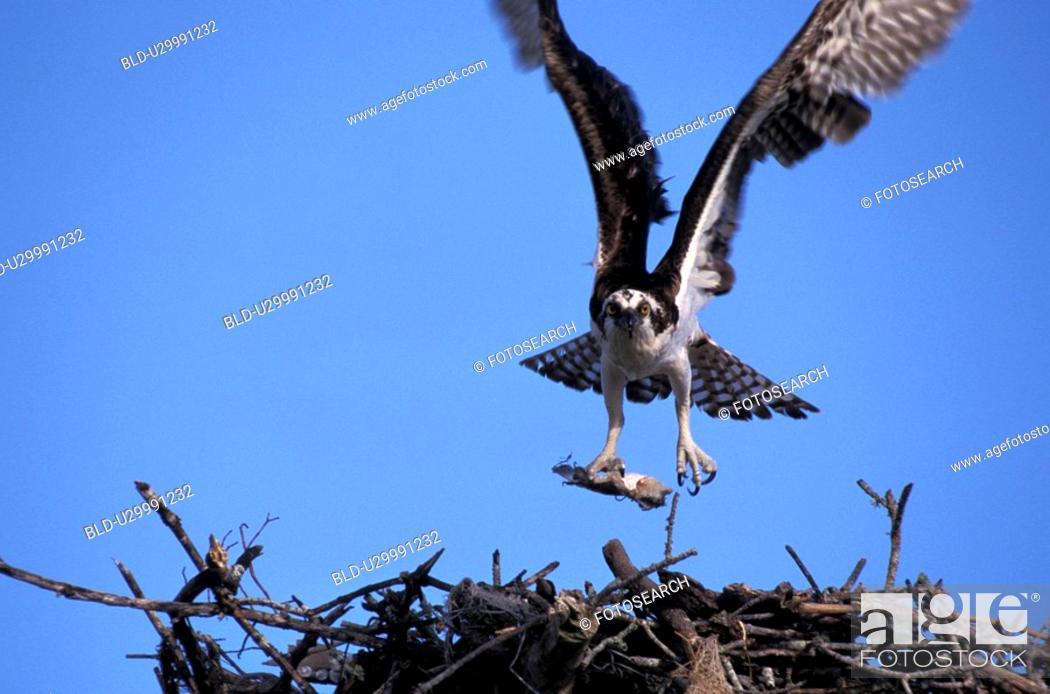 Stock Photo: federn, animals, aves, bird, birds-nest.