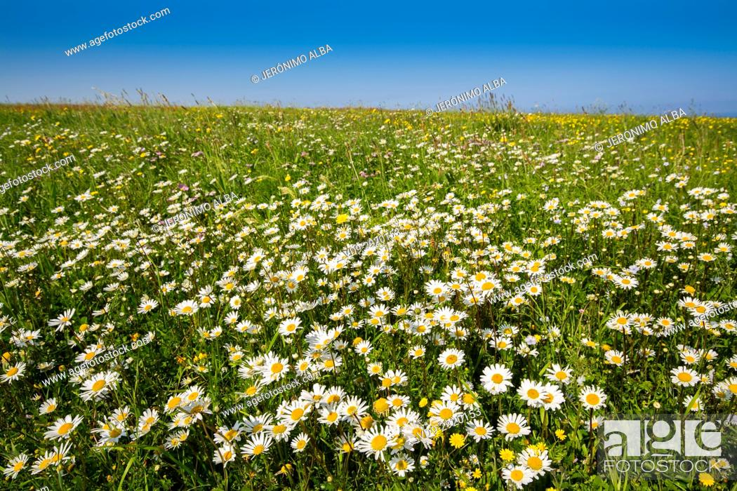 Stock Photo: Field of daisy flowers. Liencres Natural Park. Cantabrian Sea. Santander, Cantabria Spain. Europe.
