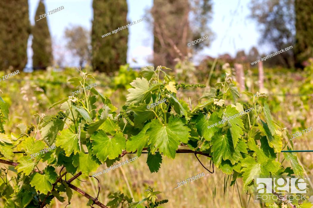 Imagen: young green unripe wine grapes.