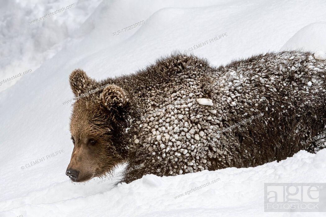 Imagen: One year old brown bear cub (Ursus arctos arctos) foraging in deep snow in winter.
