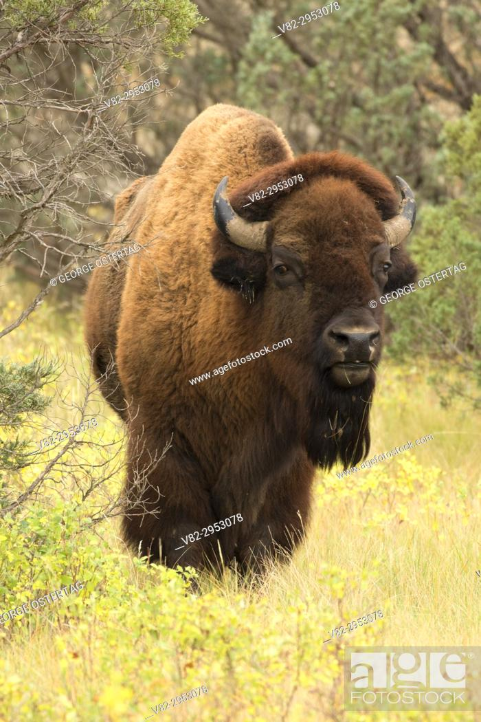 Stock Photo: Bison, Theodore Roosevelt National Park-North Unit, North Dakota.