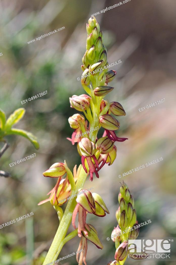 Stock Photo: Orchis anthropophora, the Man Orchid formerly Aceras anthrophophorum, Crete.