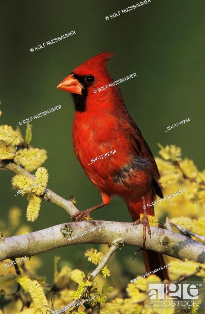 Northern Cardinal Cardinalis Cardinalis Male On Blooming