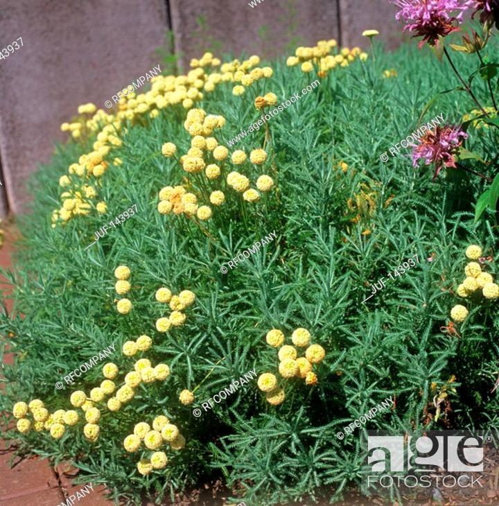Stock Photo: Cotton Lavender / Santolina chamaecyparissus.