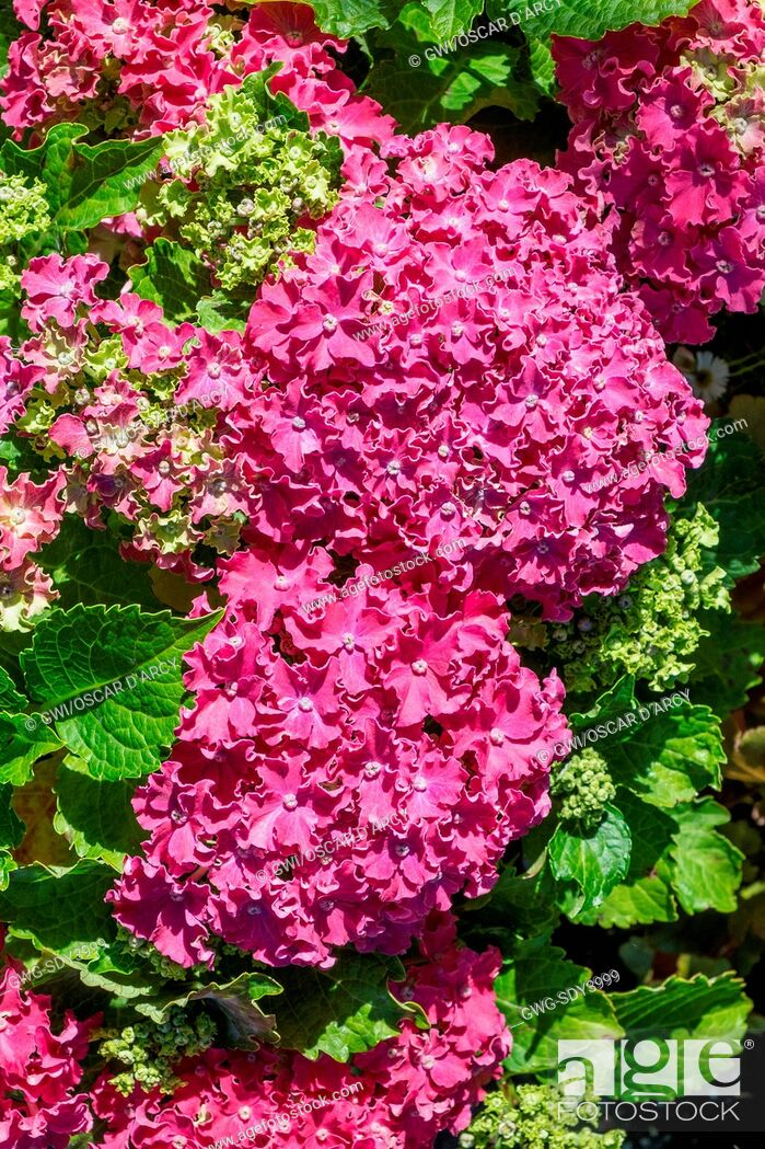 Stock Photo: HYDRANGEA 'CURLY SPARKLE RED'.