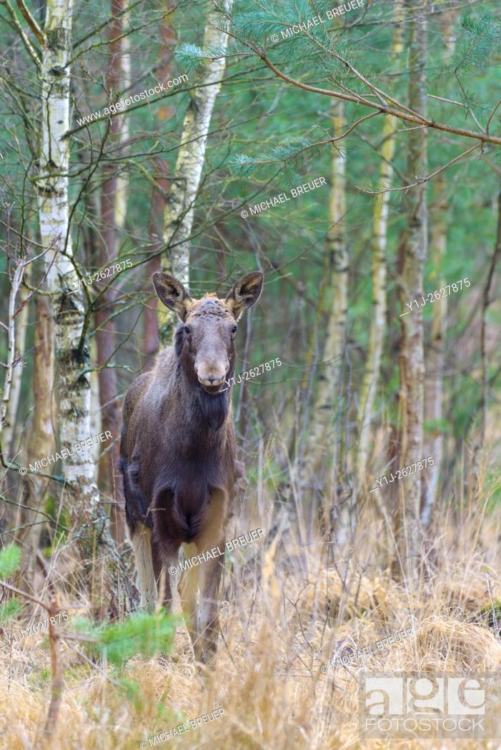 Stock Photo: Moose, Alces alces, Europe.