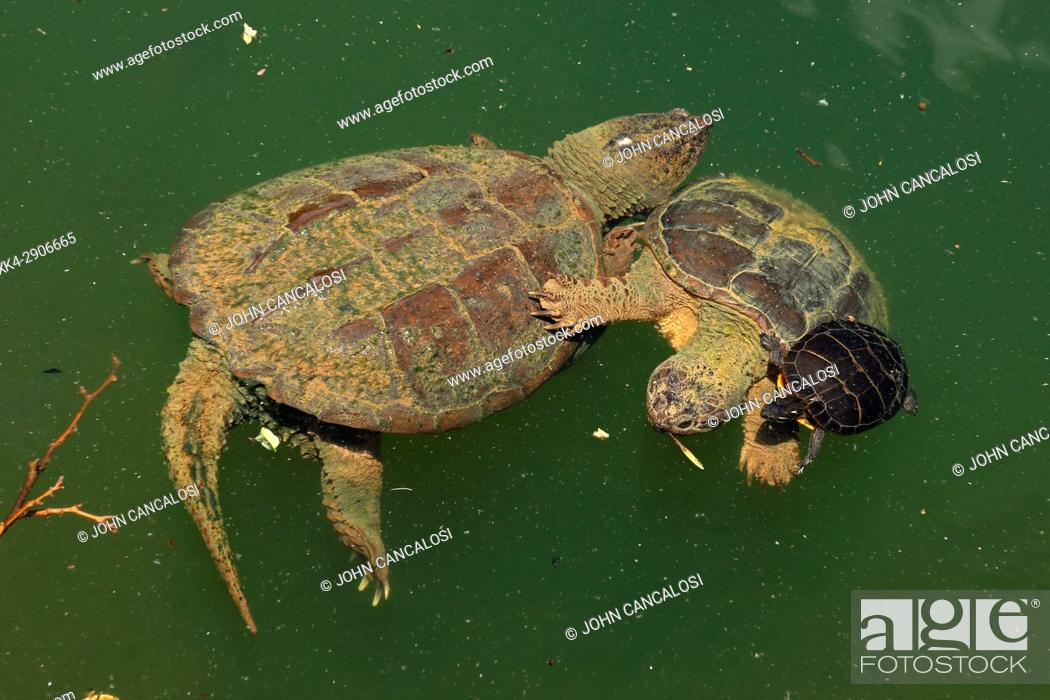 Stock Photo: Snapping turtle, Chelydra serpentina, and painted turtle Chrysemys picta feeding on algae on the snapping turtle's back, Maryland.