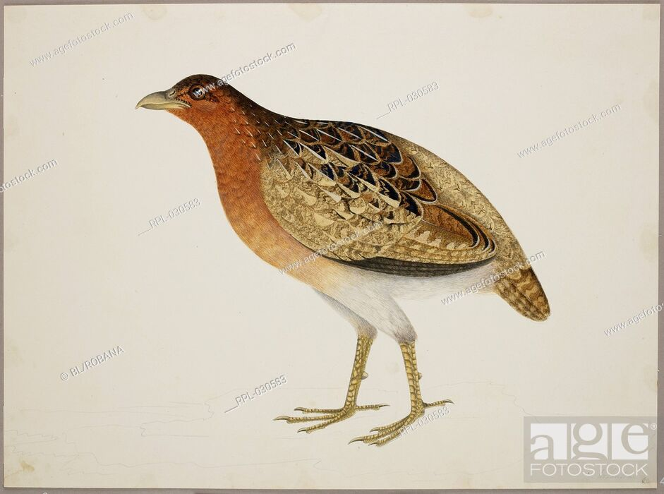 Stock Photo: Female Long-Billed Partridge 'Rhizothers Longirostris'. From an album of 51 drawings of birds and mammals made at Bencoolen, Sumatra, for Sir Stamford Raffles.