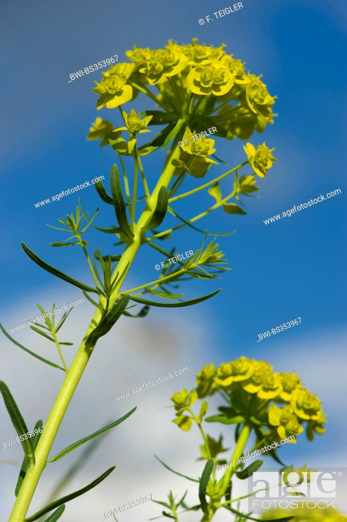 Stock Photo: cypress spurge (Euphorbia cyparissias), blooming, Germany.