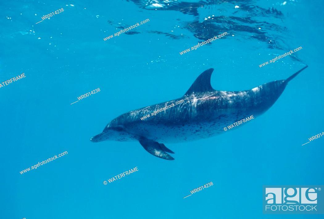 Stock Photo: Spotted Dolphin, Stenella frontalis, Atlantic, Caribbean Sea, Bahamas.