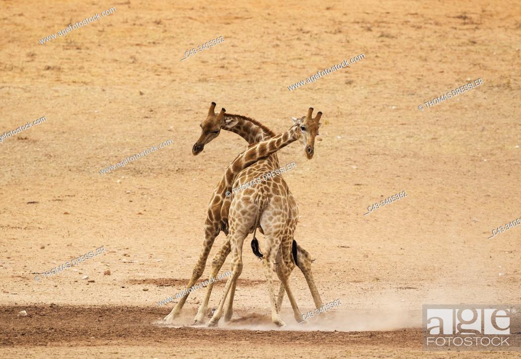 Stock Photo: Southern Giraffe (Giraffa giraffa). Fighting males in the dry and barren Auob riverbed, raising a lot of dust. Kalahari Desert, Kgalagadi Transfrontier Park.