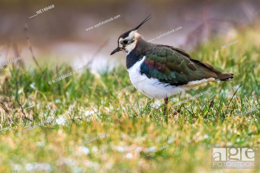 Stock Photo: A lapwing in Beeder Bruch near Homburg.