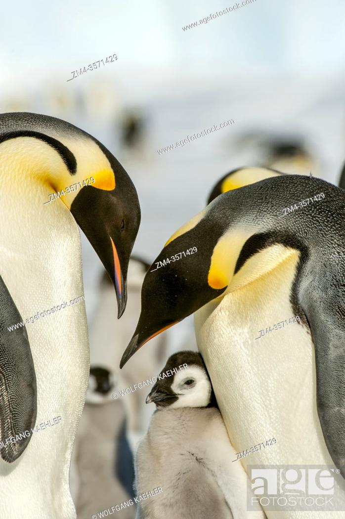 Imagen: An Emperor penguin (Aptenodytes forsteri) couple with chick on the sea ice at Snow Hill Island in the Weddell Sea in Antarctica.