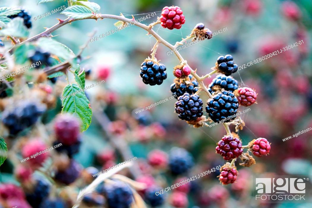 Stock Photo: bunch of blackberries with black and red berries.
