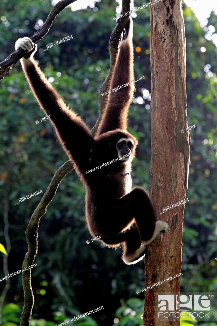 Imagen: Lar or White-handed gibbon (Hylobates lar), on tree, Singapore, Asia.