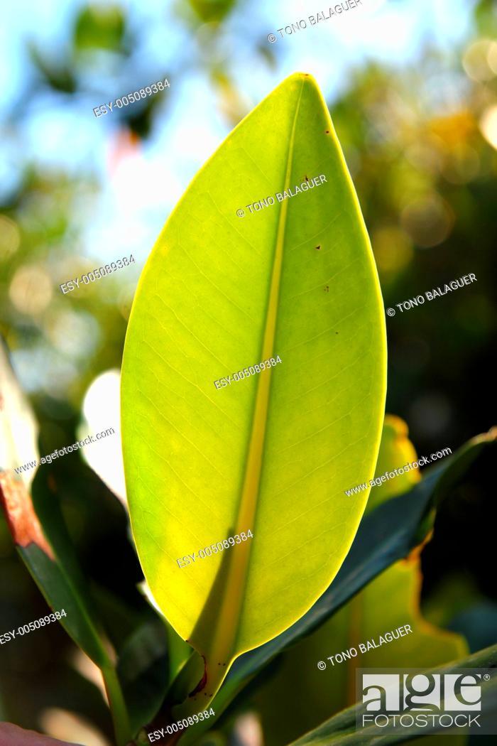 Stock Photo: mangrove leaf plant tree detail macro.