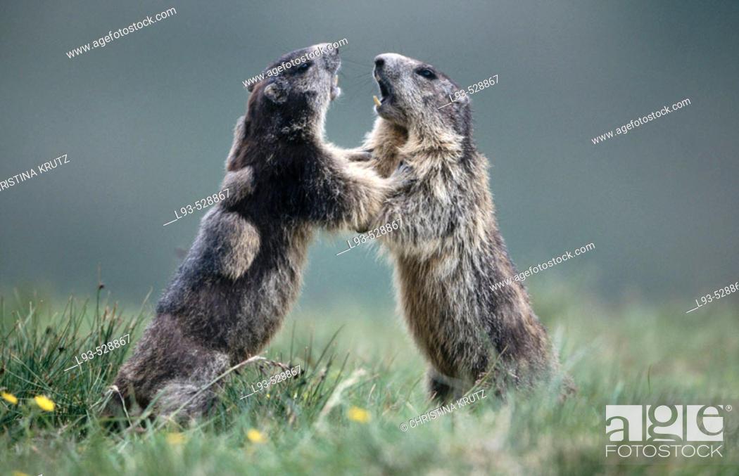 Stock Photo: Marmot (Marmota marmota).