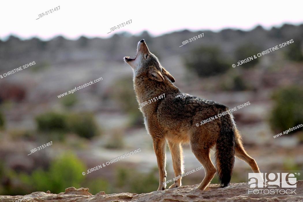 Stock Photo: Howling Coyote (Canis latrans), Utah, United States.