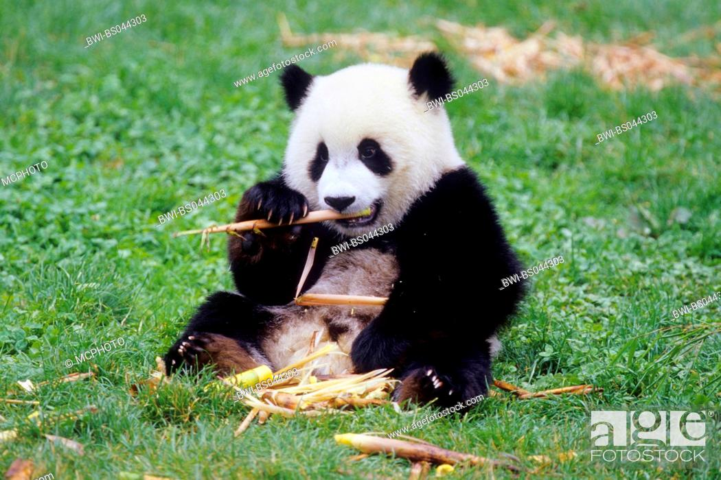 Stock Photo: giant panda (Ailuropoda melanoleuca), eight months old panda feeding bamboo in the research station of Wolong, national animal of China, China, Sichuan, Wolong.
