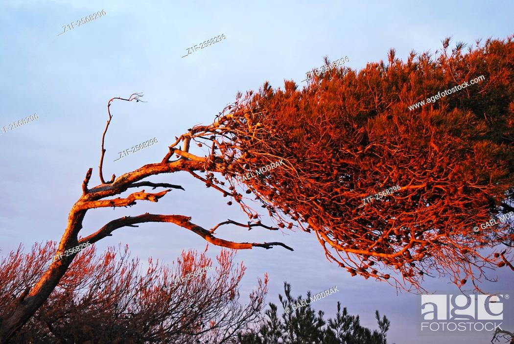 Stock Photo: A weird tree on the Mediterranean shore in the south of France, deformed by the wind.
