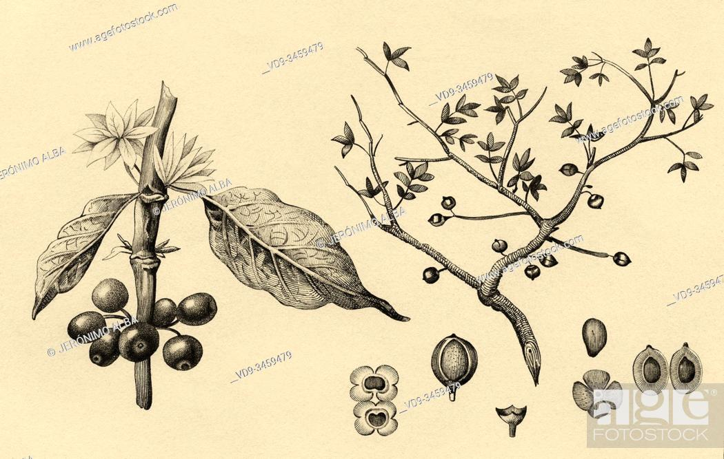 Photo de stock: Arabic coffee plant. History of Saudi Arabia. Old engraving published in L'Univers Arabia, in 1841. History of the ancient Arabia.