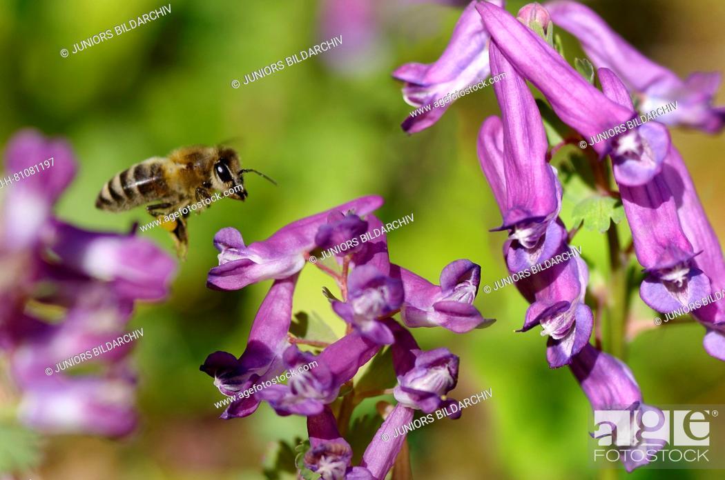 Stock Photo: Honey Bee (Apis mellifica, Apis mellifera). Worker in flight above Fumewort (Corydalis solida) flowers Germany.