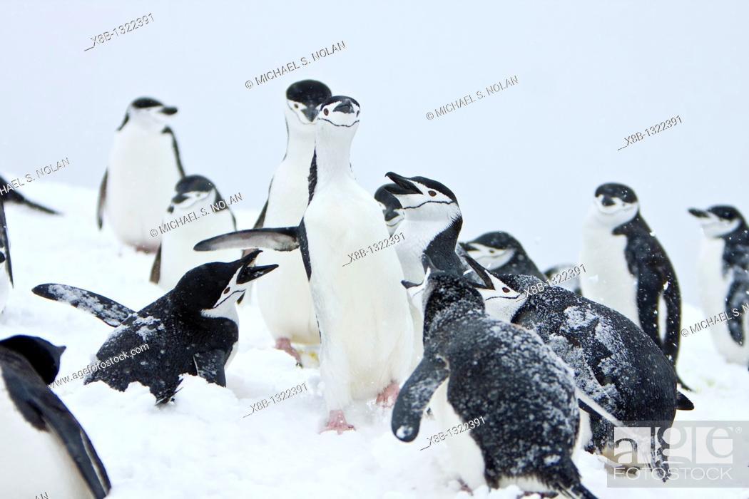 Imagen: Chinstrap penguin Pygoscelis antarctica colony in a snowstorm on Half Moon Island near Livingston Island in the South Shetland Islands near the Antarctic.