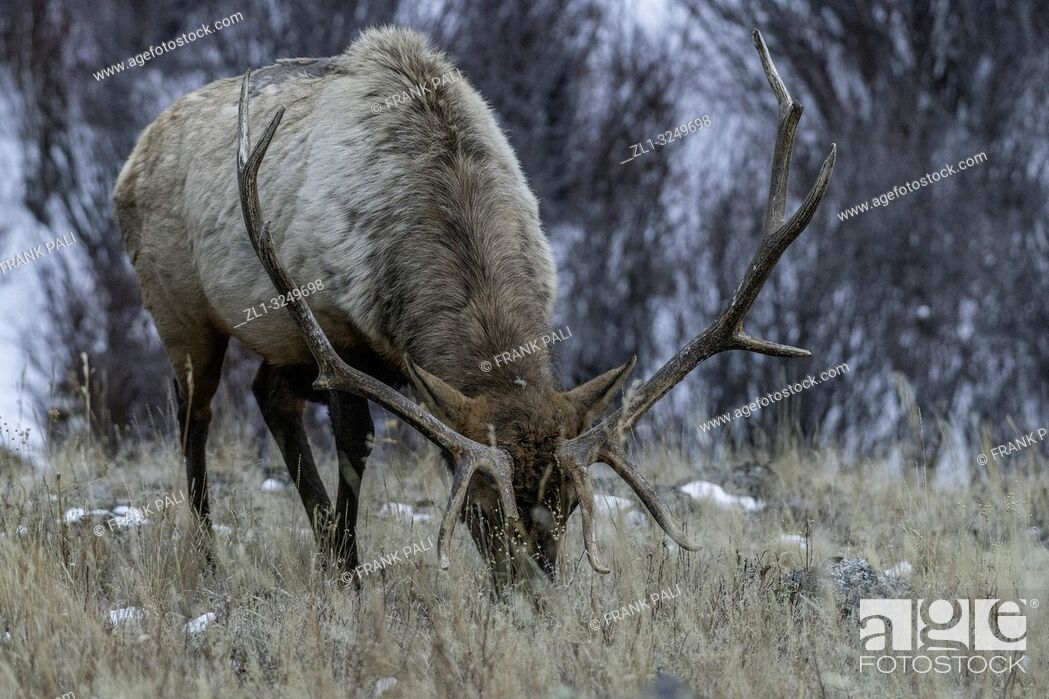 Imagen: Bull elk (Cervus canadensis) grow antlers for the fall mating season and keep them through the winter, they fall off for the new yearâ. . s growth.