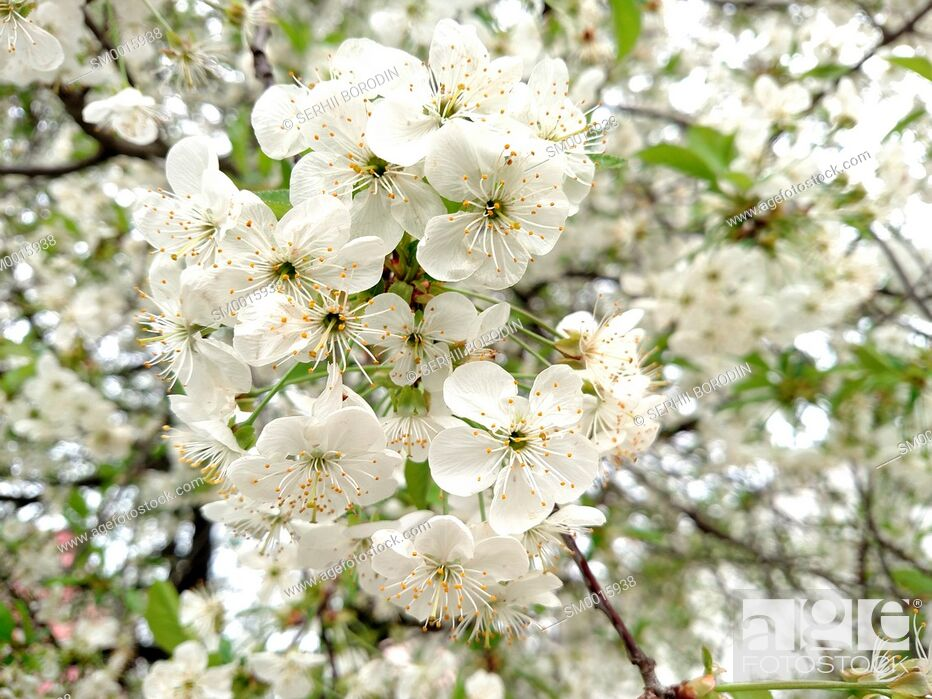 Stock Photo: Flowers white color apple tree branch blossoms in summer day nature.