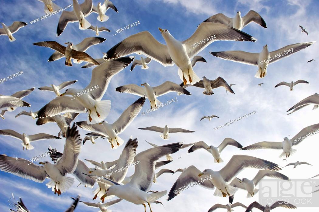 Stock Photo: Flock of flying seagulls from below.