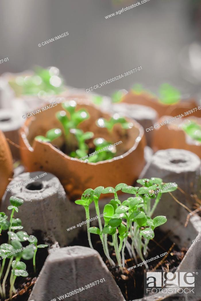 Stock Photo: Microgreen arugula sprouts into eggs shell. Raw sprouts, microgreens, healthy eating concept. superfood grown at home.