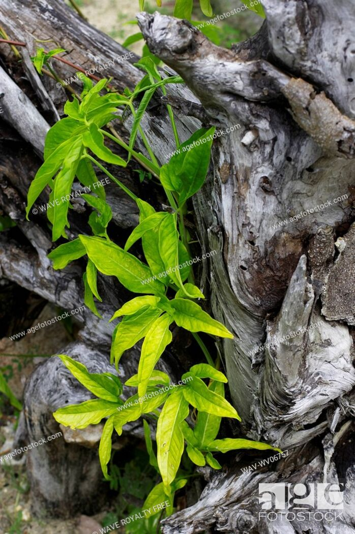 Stock Photo: Leaves growing out of old tree bark, Camagüey, Cuba.