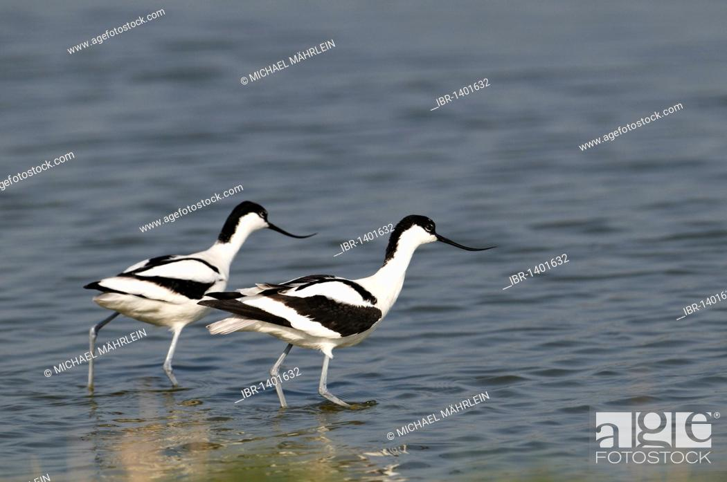 Stock Photo: Pied Avocets (Recurvirostra avosetta).