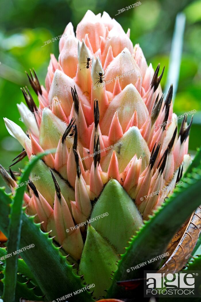 Stock Photo: Aechmea longifolia. Bromeliad flower in the forest near a pond.Kaw Mountain. French Guiana.