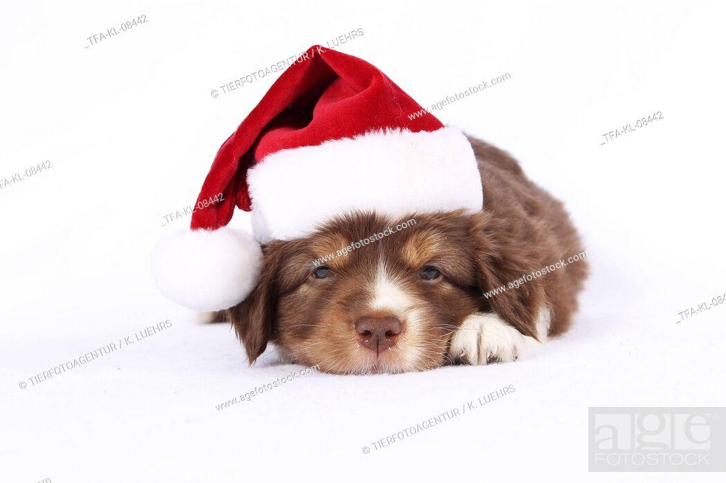 Imagen: Miniature Australian Shepherd Puppy.