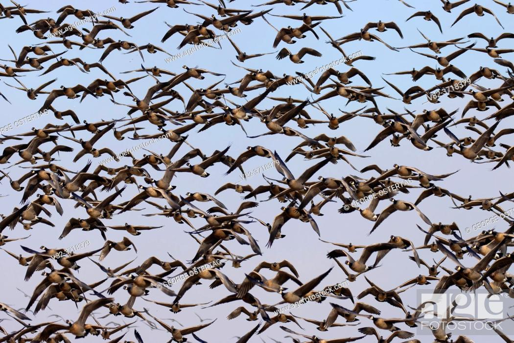 Stock Photo: Canada geese (Branta canadensis) take-off at McFadden Marsh, William Finley National Wildlife Refuge, Oregon.